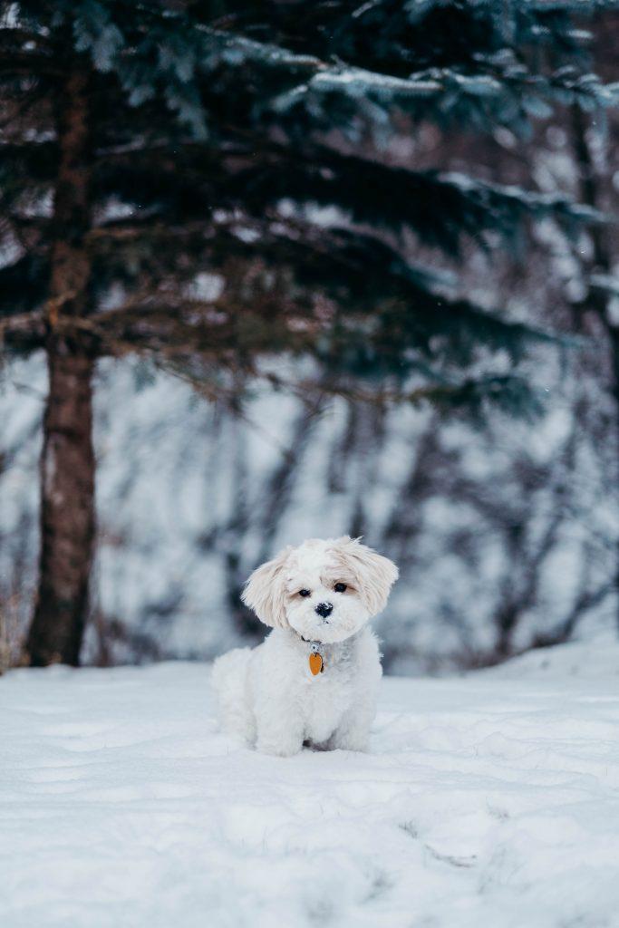 do labradoodles get cold - TheDoodleGuide.com