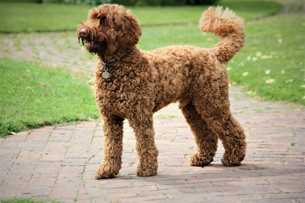 how to demat a labradoodle - TheDoodleGuide.com