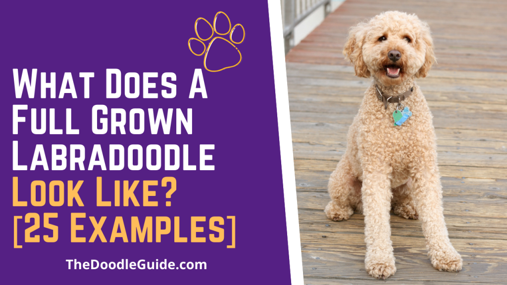 what does a full grown labradoodle look like - TheDoodleGuide.com