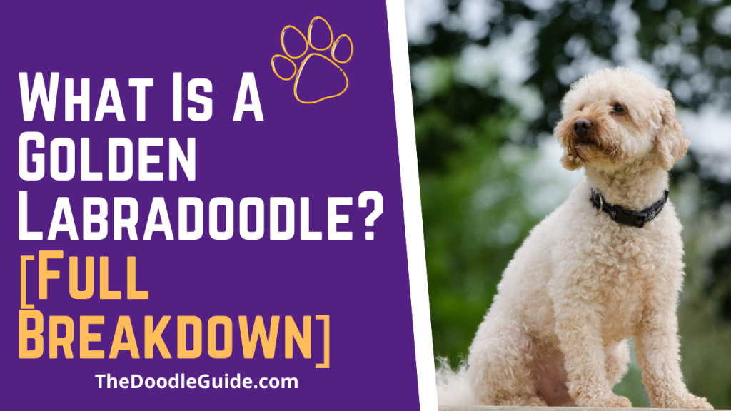 what is a golden labradoodle - TheDoodleGuide.com