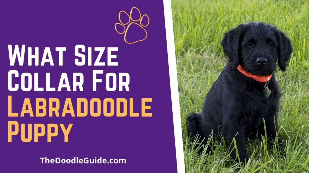 what size collar for labradoodle puppy - TheDoodleGuide.com