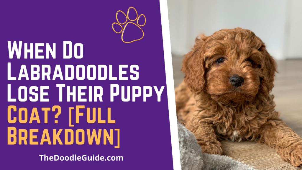 when do labradoodles lose their puppy coat - TheDoodleGuide.com