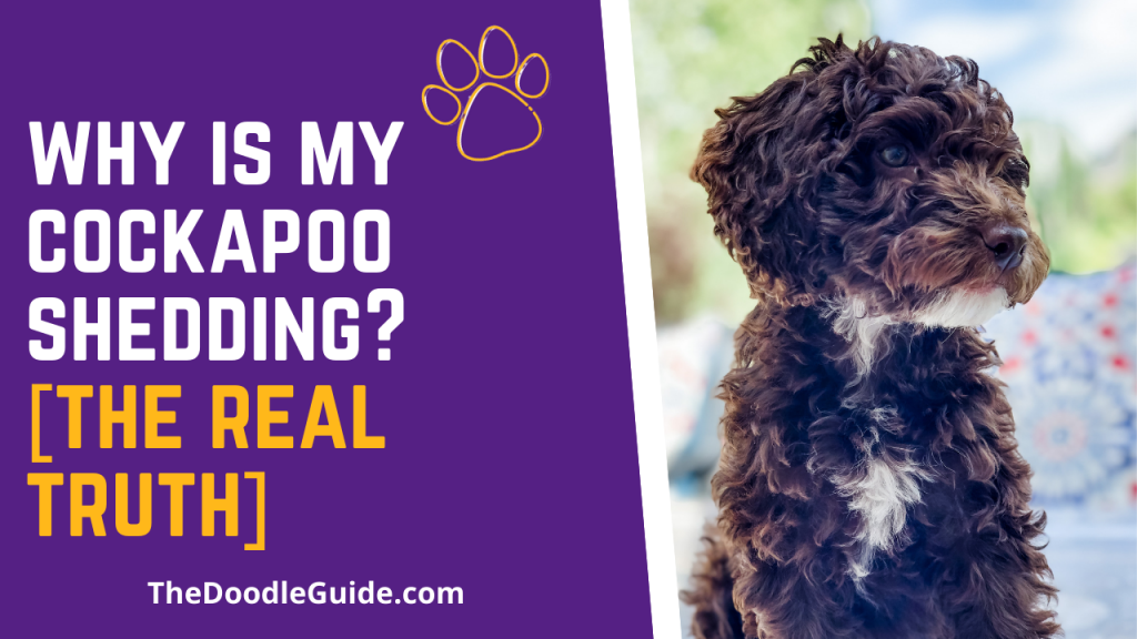 why is my cockapoo shedding - TheDoodleGuide.com