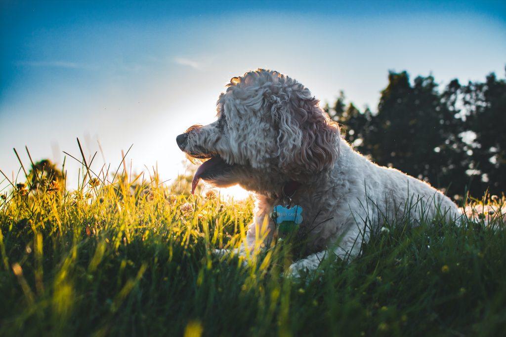 how to care for a cockapoo puppy - TheDoodleGuide.com