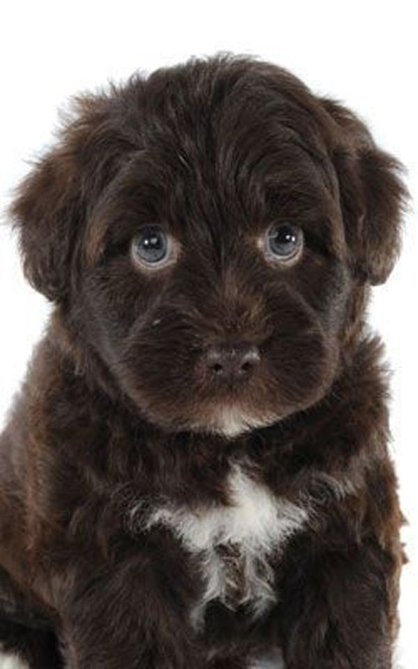 what does a schnoodle look like
