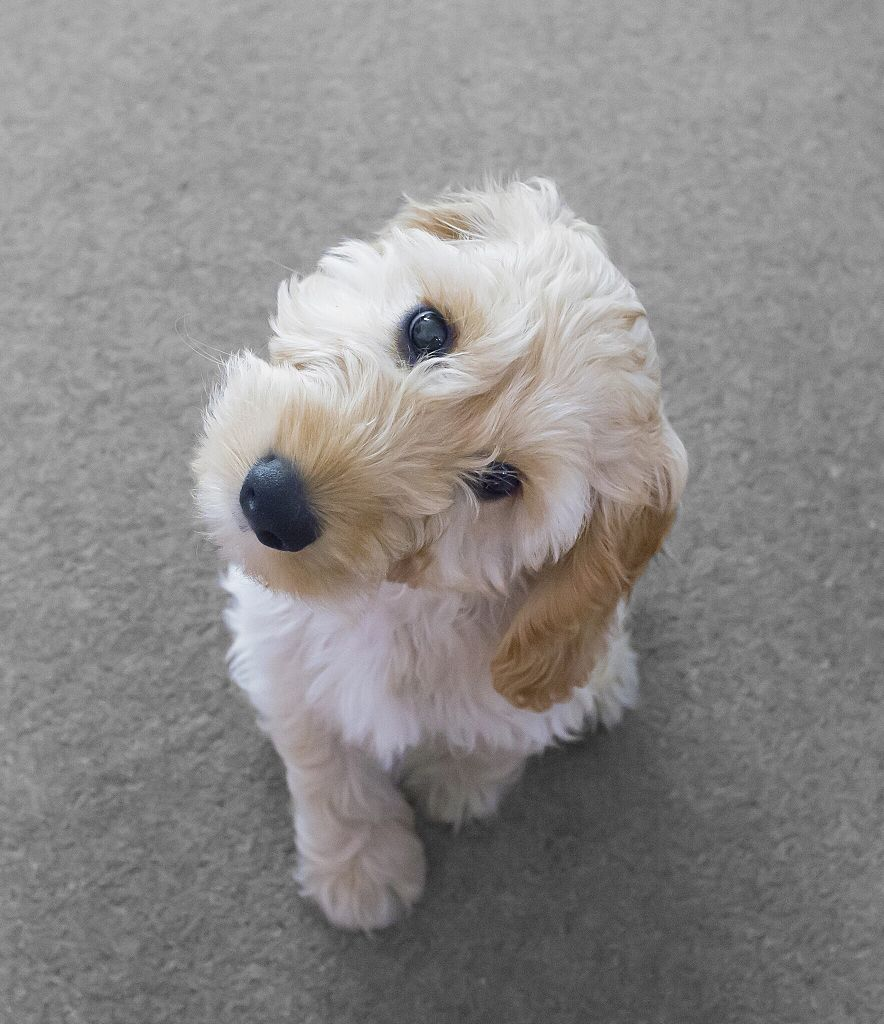 where to buy cockapoo puppies