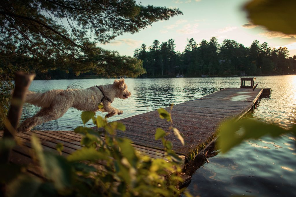 do labradoodles like water - thedoodleguide.comnning on dock