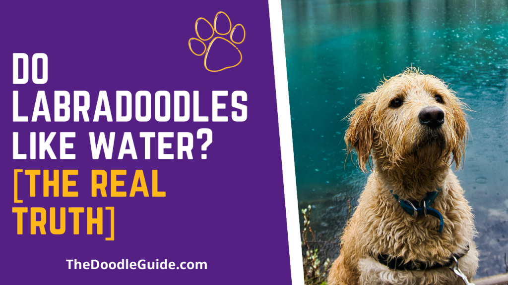 do labradoodles like water - thedoodleguide.com