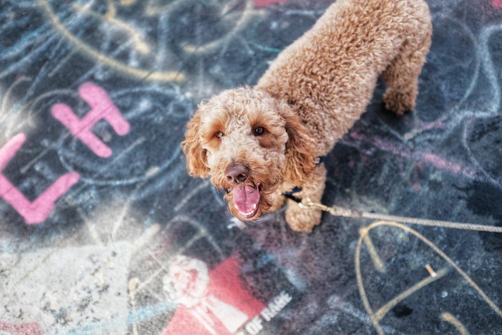do labradoodles make good family pets - thedoodleguide.com
