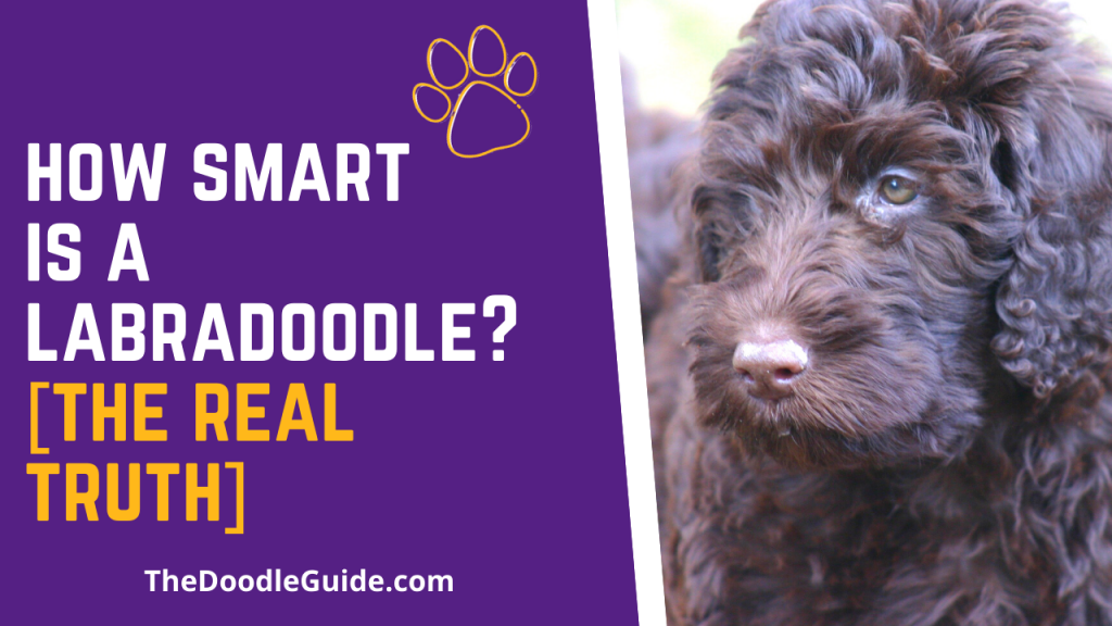how smart is a labradoodle - thedoodleguide.com