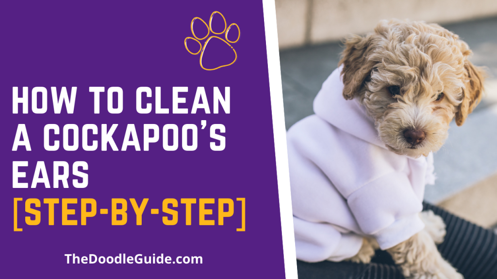how to clean a cockapoos ears - thedoodleguide.com