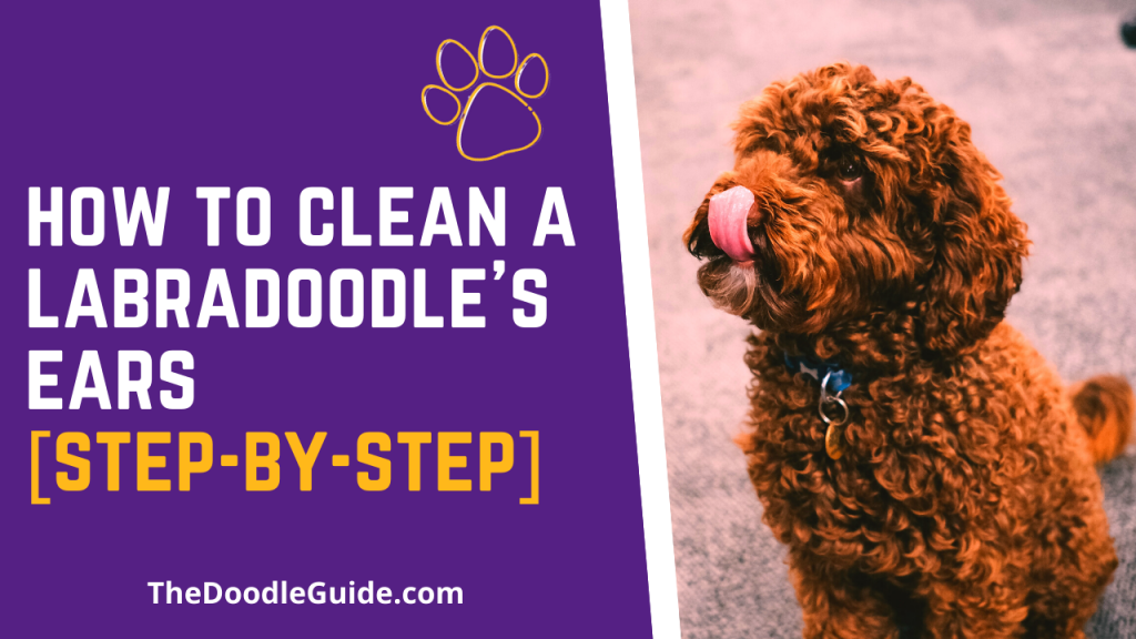 how to clean a labradoodles ears - thedoodleguide.com
