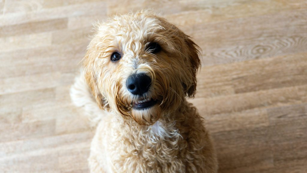 how to clean a labradoodle's ears - thedoodleguide.com