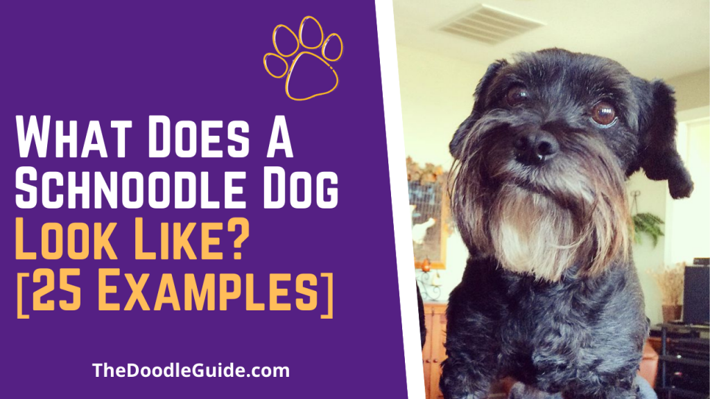 what does a schnoodle look like - TheDoodleGuide.com