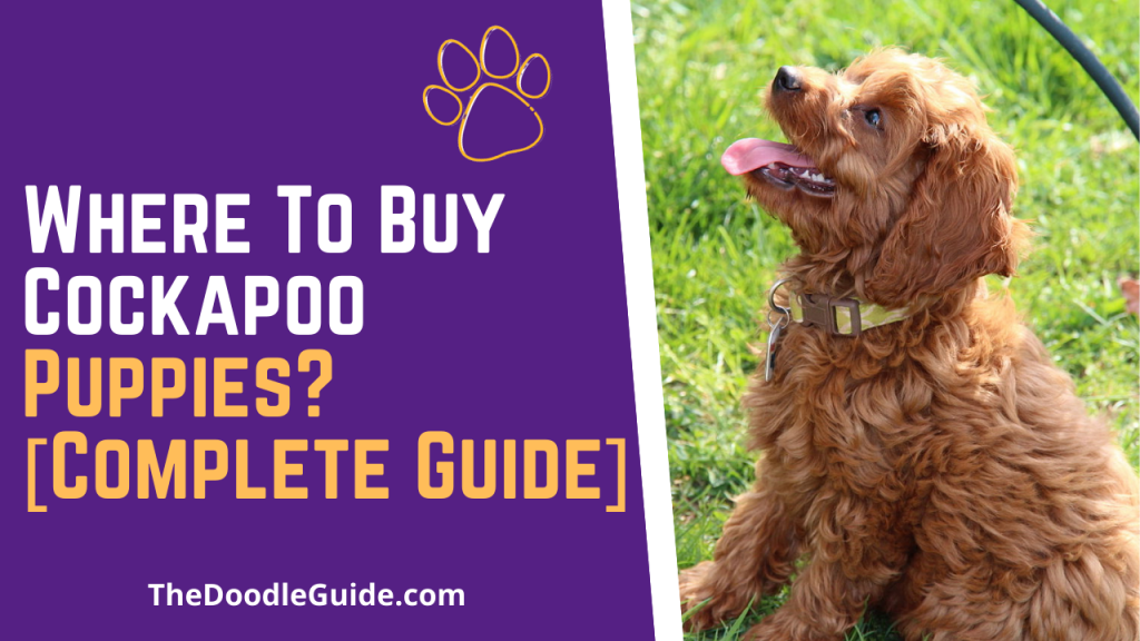 where to buy cockapoo puppies - TheDoodleGuide.com
